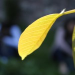 Yaprak ve Işık